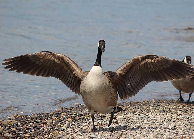 Canada goose investor